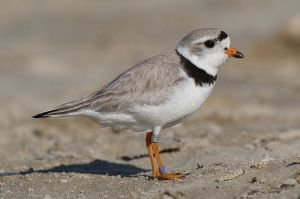 The federally endangered Piping Plover