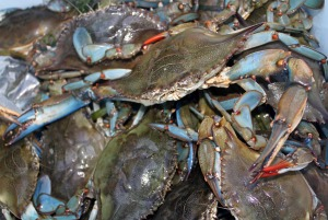 Blue crabs caught in the Connecticut RiverPhoto: Kierran Broatch