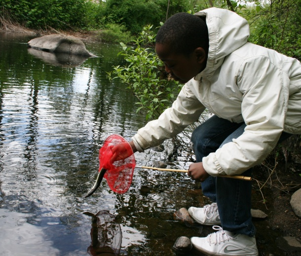 A student releases an American eel into Pond Lily. Save the Sound teamed up with Solar Youth to help eels over the dam.