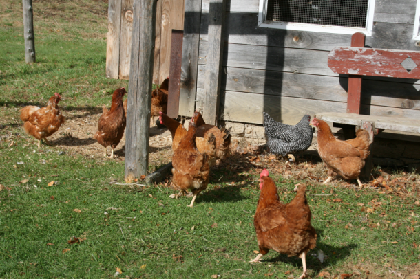 Cranberry Hill Farm - chickens