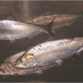 Forage Fish Caught in the Nets: The Struggle for Better Management andMonitoring