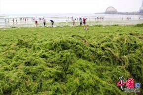 Seaweed Blooms: A GrowingProblem