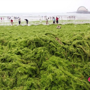 Seaweed Blooms: A Growing Problem