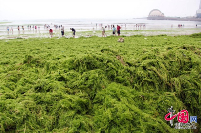 China seaweed