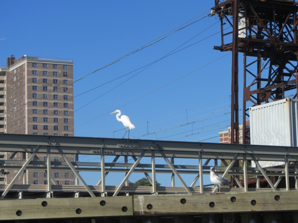 Great White Heron on the Bronx shoreline