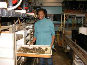 Dr. Croxton at work with some of the lab's oyster brodstock. These animals are used to supply researchers with developing larvae.