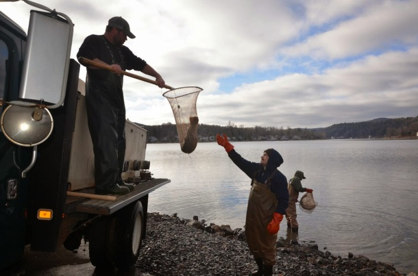 Kensington Hatchery employees stocking huge seeforellen brown trout (photo credit: CT DEEP).