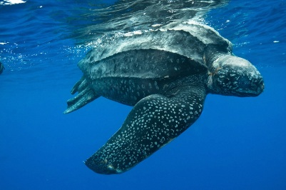 Leatherback turtles are the largest living turtle and are endangered. They have been spotted in the waters around Plum Island.