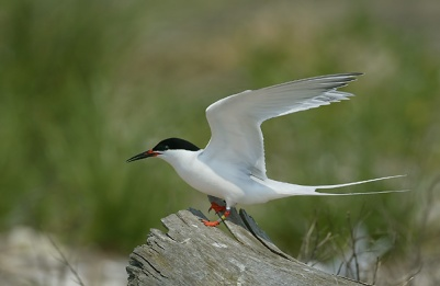 Roseate terns are endangered and use Plum Island for shelter, foraging, and raising their fledglings.  [A.J. Hand]