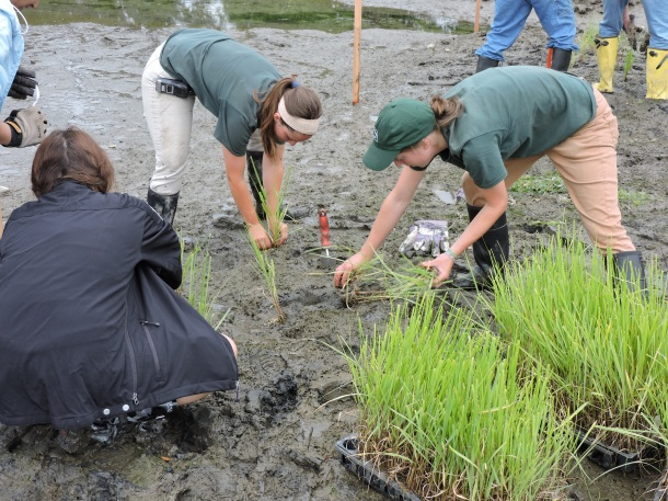 NY State Parks staff plant smooth cordgrass (Spartina alterniflora) at Sunken Meadow State Park