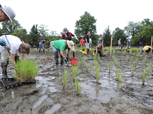 Volunteers planted 3000 plants in 3 (muddy) hours!