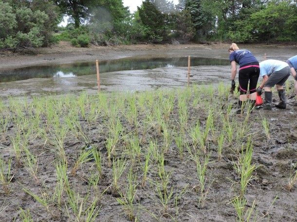 While one volunteer plants, another follows behind with fertilizer to give the transplants a jump start.