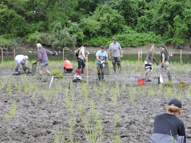 Volunteers install fencing and string to protect the new salt marsh from predation by Canada geese.