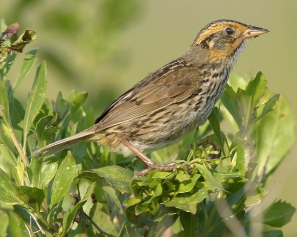 The salt marsh sparrow--a federally-listed species--will be able to find food and habitat in the new marsh. (Photo: Richard Crossley/Audubon)