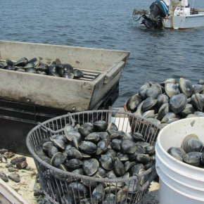 Guest post: How Hempstead Harbor's clam recovery is fueling the local economy.