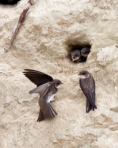 Bank swallows on Plum Island. Photo from U.S. Fish and Wildlife Service.