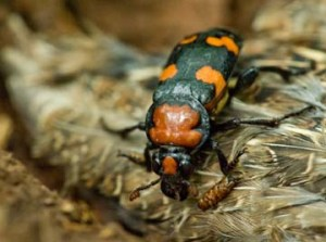 American Burying Beetle Credit U.S. Forest Service via flicker.