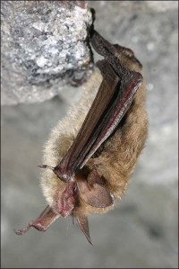 Long-eared bat Credit - NYDEC Al Hicks