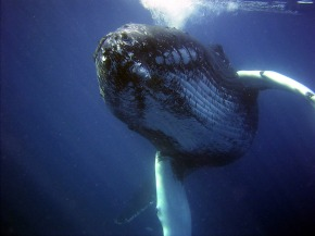 Humpback Whales Return to Feed in Long Island Sound: What Does It Mean?