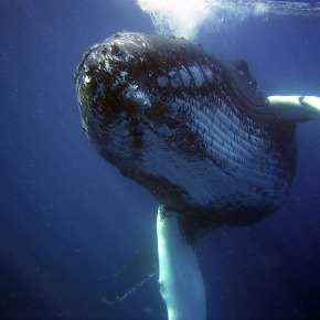 Humpback Whales Return to Feed in Long Island Sound: What Does ItMean?