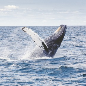 Whale Watch Out: Tips for Safe WhaleViewing