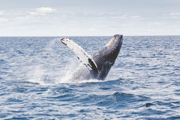 humpback_whale_creative-commons_2