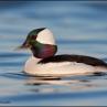 bufflehead-duck-greg-schneider