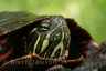 painted-turtle-brett-dawson