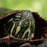 painted-turtle-brett-dawson