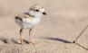 piping-plover-chick-edit